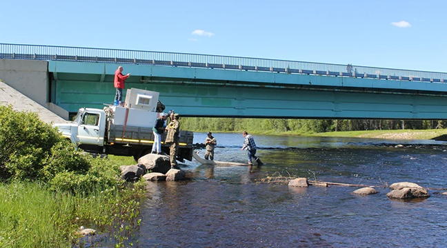Arkhangelsk Branch releases young salmon
